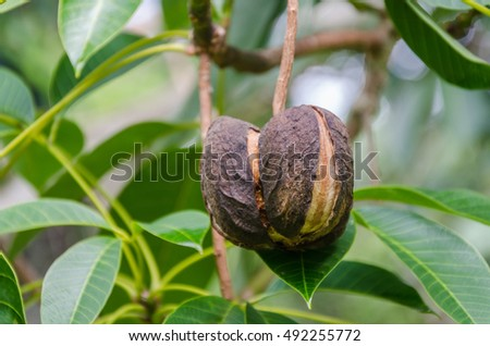 Rubber tree seed