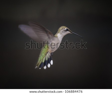 Ruby Throat-ed Hummingbird - female - stock photo