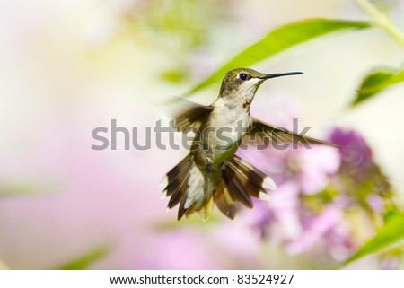 Ruby throat hummingbird, juvenile male, in the garden in the summer.