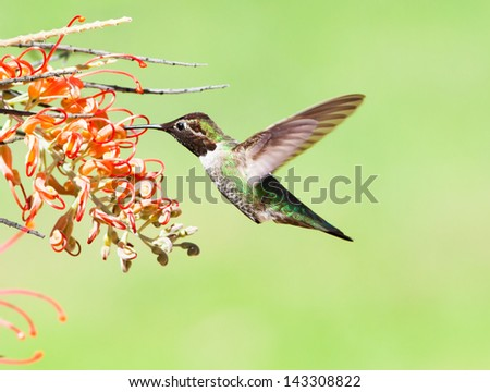 Ruby-throated hummingbird - stock photo