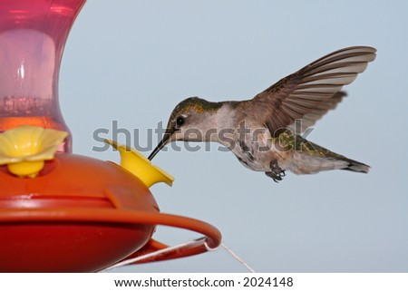 Ruby throated Hummingbird - stock photo