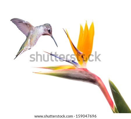 Ruby Throated Hummingbird and Bird of Paradise Flower Isolated on a White Background - stock photo