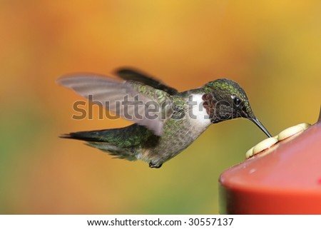 Ruby-throated Hummingbird (archilochus colubris) at a feeder with a colorful background - stock photo