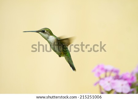 Ruby throated hummingbird (archilochus colubris) in motion.   - stock photo