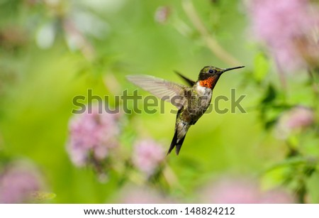 Ruby throated hummingbird (archilochus colubris) male in motion in the summer.  - stock photo