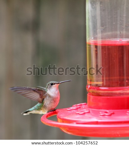 Ruby-throated hummingbird, Archilochus colubris, perched on a feeder with wings spread - stock photo
