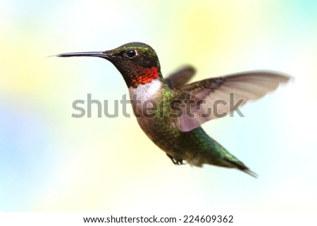 Ruby-throated Hummingbird (archilochus colubris) with a lightly colored floral  background - stock photo