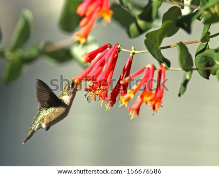 Ruby-Throated Hummingbird feeding at Red Honeysuckle - stock photo