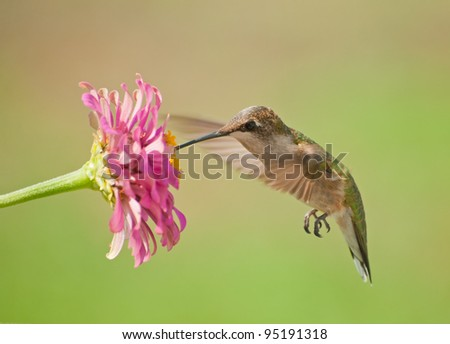 Ruby-throated Hummingbird feeding on a pink Zinnia flower against green summer background - stock photo