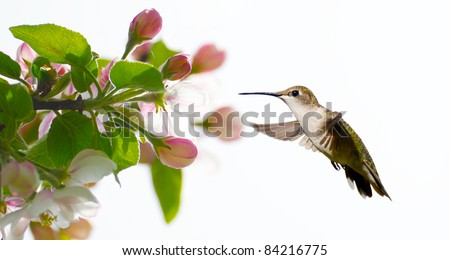 Ruby throated hummingbird, female,  approaching apple blossoms in the Spring, isolated on white with copy space.. - stock photo