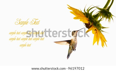 Ruby throated  hummingbird female in motion approaching a sunflower head on a white background with copy space. Business card design. - stock photo