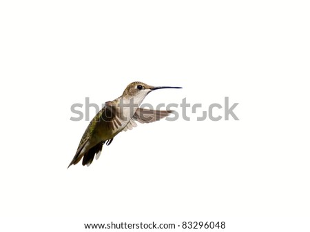 Ruby throated hummingbird, female, in motion, isolated on white.