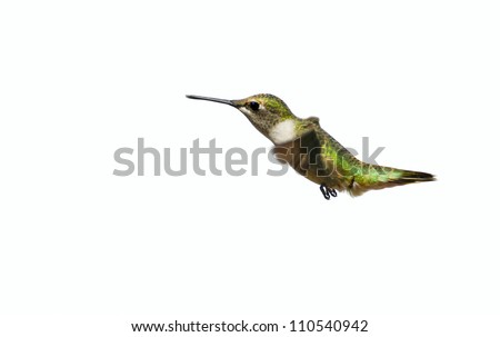 Ruby throated hummingbird juvenile male in motion, isolated on white.