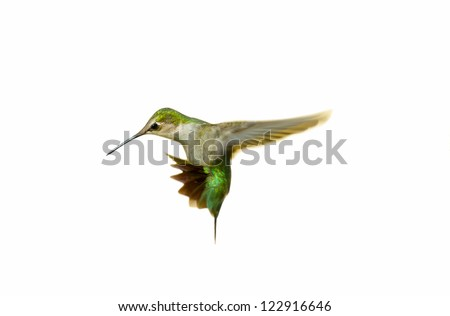 Ruby throated hummingbird juvenile male isolated on white. - stock photo