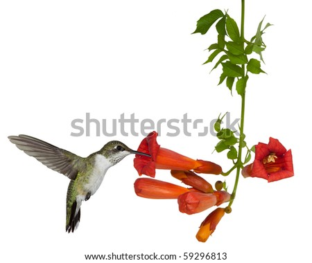 ruby throated hummingbird sips nectar from a trumpet vine; white background - stock photo