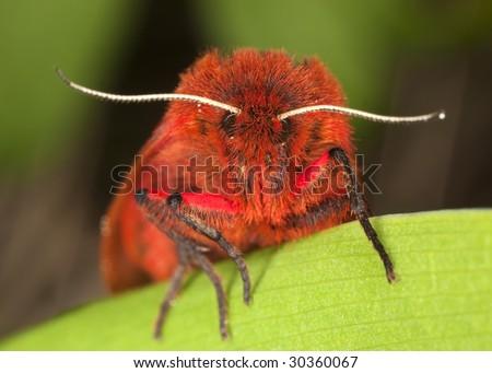 Ruby tiger (Phragmatobia fuliginosa ) - stock photo