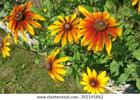 Rudbeckia in the garden in summer time