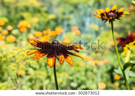 Rudbeckia or Black Eyed Susan flower in the summer garden. Summer flowers background. Selective focus on single flower. - stock photo