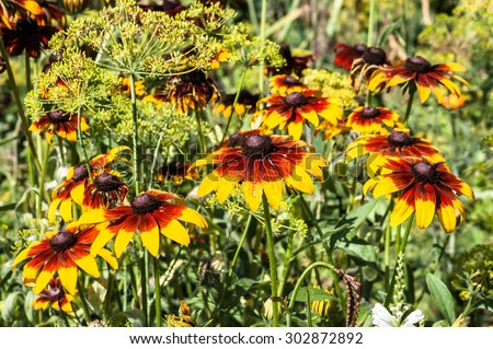 Rudbeckia or Black Eyed Susan flowers in the summer garden. Summer flowers background with shallow depth of field. - stock photo
