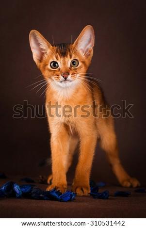 Ruddy abyssinian cat on dark green background. - stock photo
