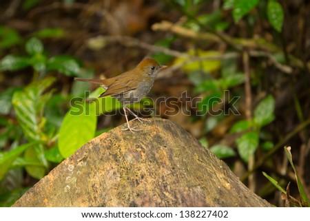 Ruddy-capped Nightingale-Thrush, Catharus frantzii - stock photo
