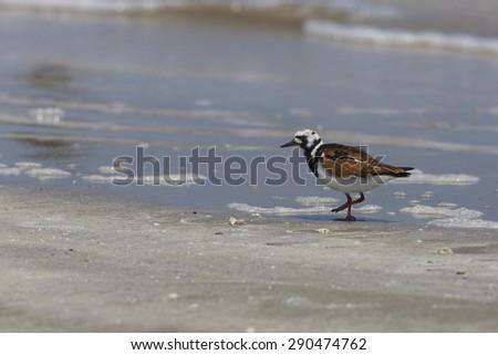 Ruddy Turnstone (Arenaria interpres) moulting into breeding plumage - Bolivar Peninsula, Texas  - stock photo