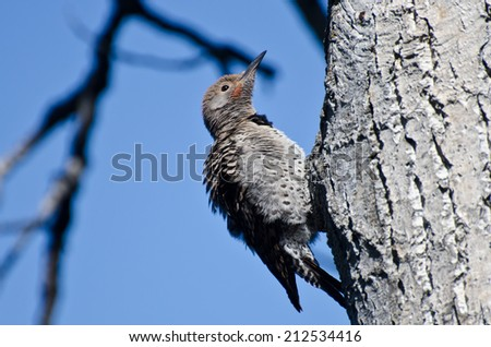Ruffled Northern Flicker Clinging To Tree - stock photo