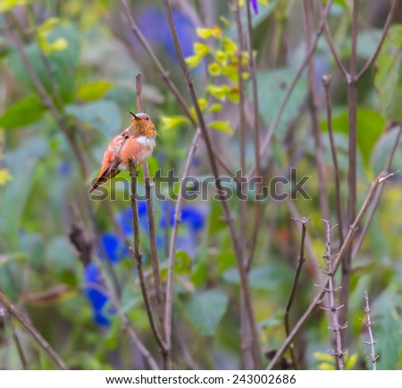 Rufous Humming perched on a branch deep in the forest. this is a male showing its throat feathers off to warn any intruders off. This picture would make a good subject for a painting or watercolor. - stock photo