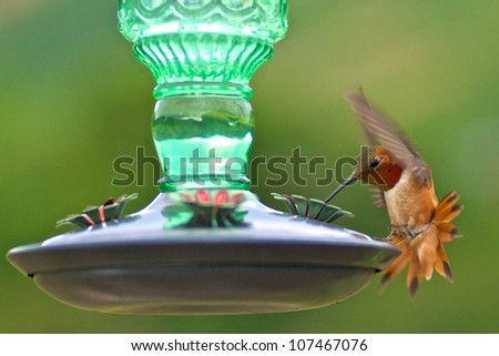 Rufous hummingbird male at feeder - stock photo