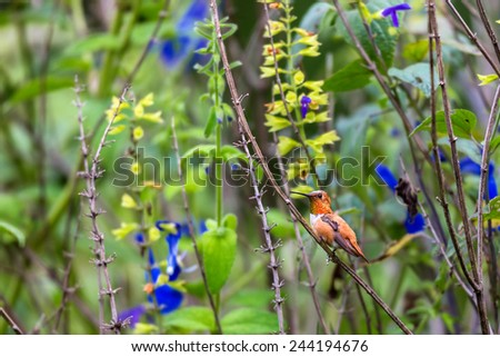Rufous Hummingbird male. Stretching on a twig showing its metallic red throat to ward of intruders. This picture is useful for artist material and also identify the bird in its natural surroundings - stock photo
