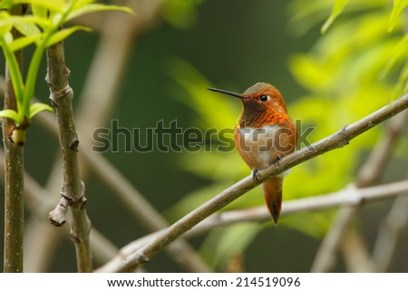Rufous Hummingbird perched in a tree - stock photo