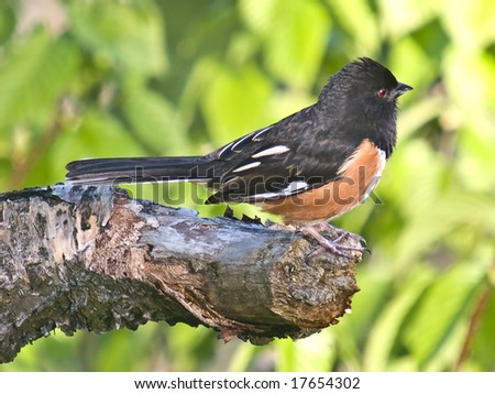 Rufous Sided Towhee (Pipilo erythrophthalmus): A male Rufous exhibits teritorial behavior as it stakes out its mating teritory.