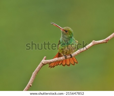 Rufous-tailed hummingbird calls from its perch in Costa Rica. - stock photo