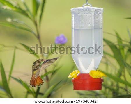 Rufous tailed hummingbird hovering close to a feeder. - stock photo