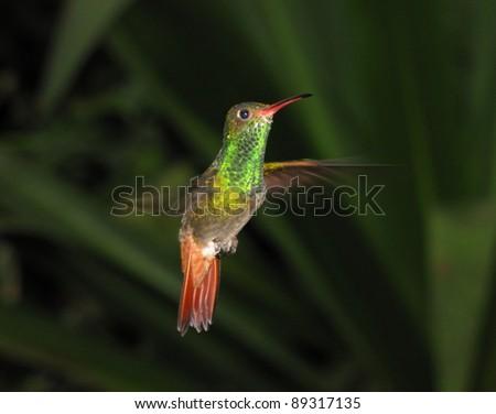 Rufous-tailed hummingbird in Ecuadorian Andes - stock photo