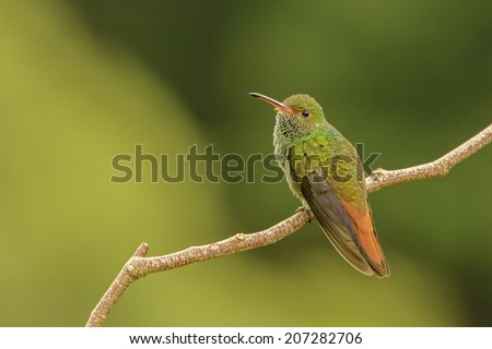 Rufous-tailed hummingbird perched on a branch in Costa Rica. - stock photo