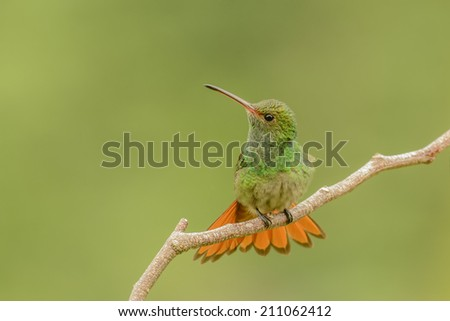 Rufous tailed hummingbird perching in a branch. - stock photo