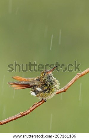Rufous tailed hummingbird perching in a branch during the rain. - stock photo