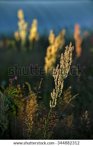Rumex acetosa, also known as common sorrel at sunrise light  - stock photo