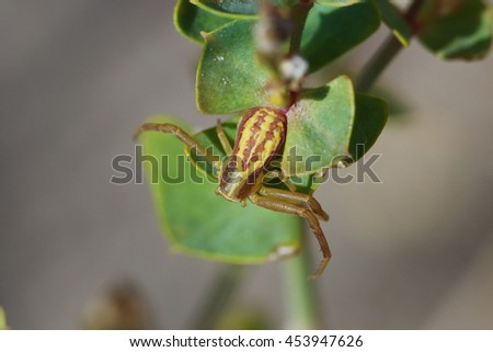 Runcinia grammica spider waiting for a prey - stock photo