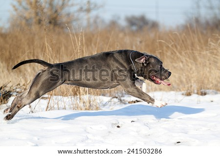 Running American staffordshire terrier in winter - stock photo