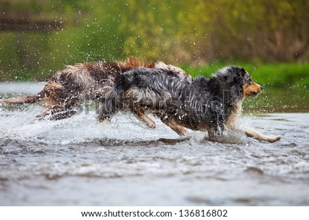 running Australian Shepherd dogs in a river