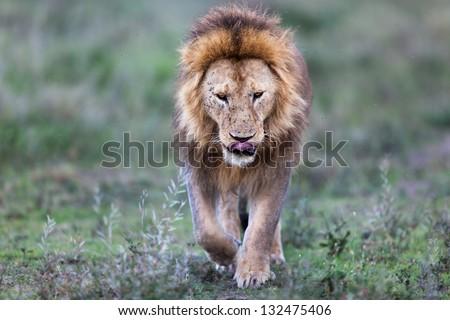 Running big Lion, Serengeti - stock photo
