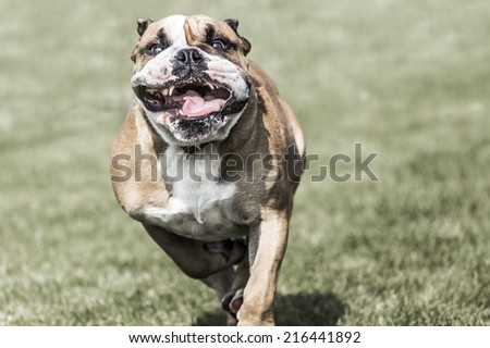 Running bulldog with widely open mouth - stock photo