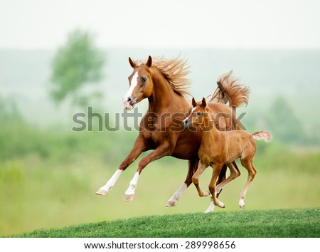 Running chestnut horse in meadow. Summer day - stock photo