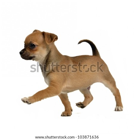 Running chihuahua puppy, isolated on white background - stock photo