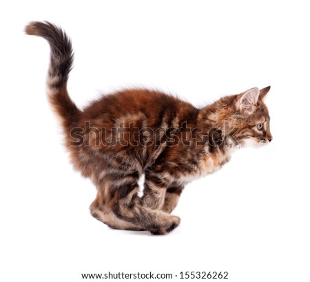 Running cute kitten, isolated on white background