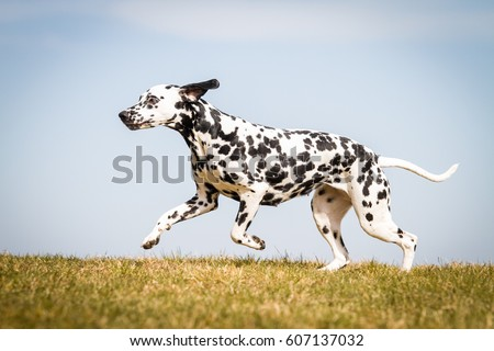 Dalmatians Stock Images Royalty Free Images Amp Vectors