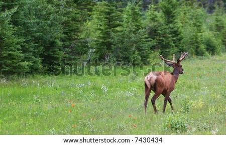 Running deer - banff national park. Alberta, Canada - stock photo