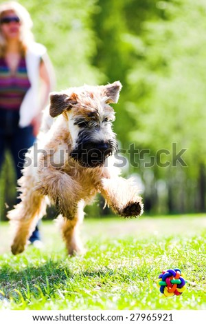 Running dog on grass catch ball (Irish soft coated wheaten terrier) - stock photo